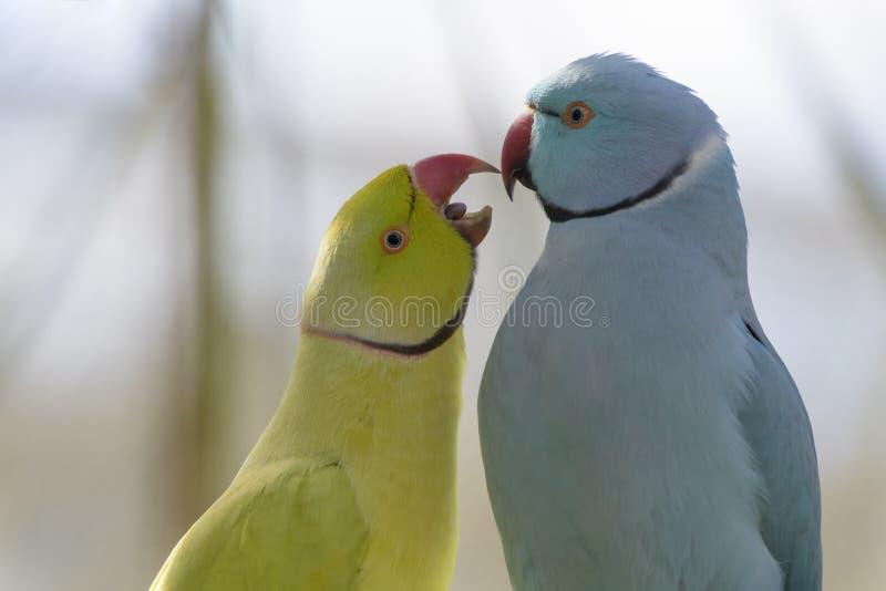Ροδαλός-ringed parakeet ερωτοτροπία ζευγαριού στοκ φωτογραφίες