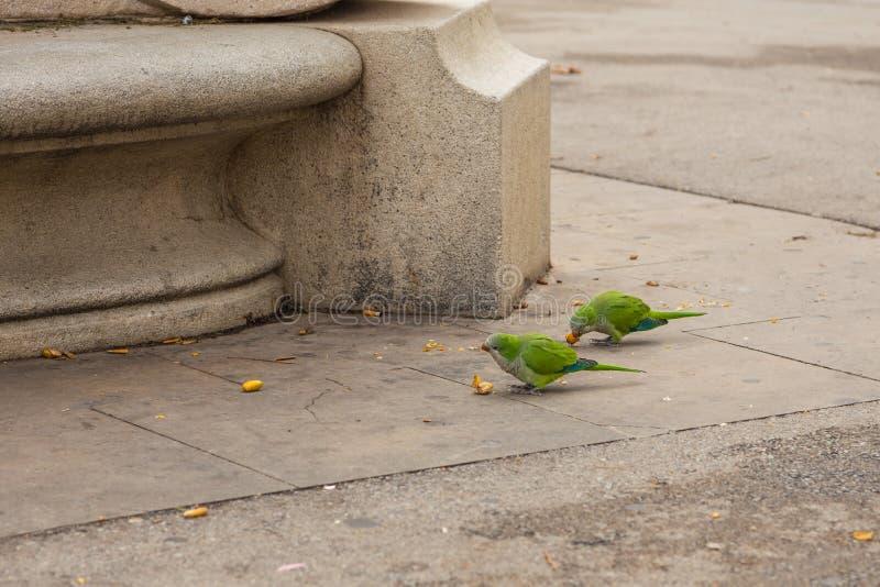 Ροδαλός-ringed parakeet τρώγοντας τα φρούτα, Βαρκελώνη, Ισπανία στοκ εικόνες