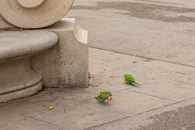 Ροδαλός-ringed parakeet τρώγοντας τα φρούτα, Βαρκελώνη, Ισπανία στοκ φωτογραφία με δικαίωμα ελεύθερης χρήσης