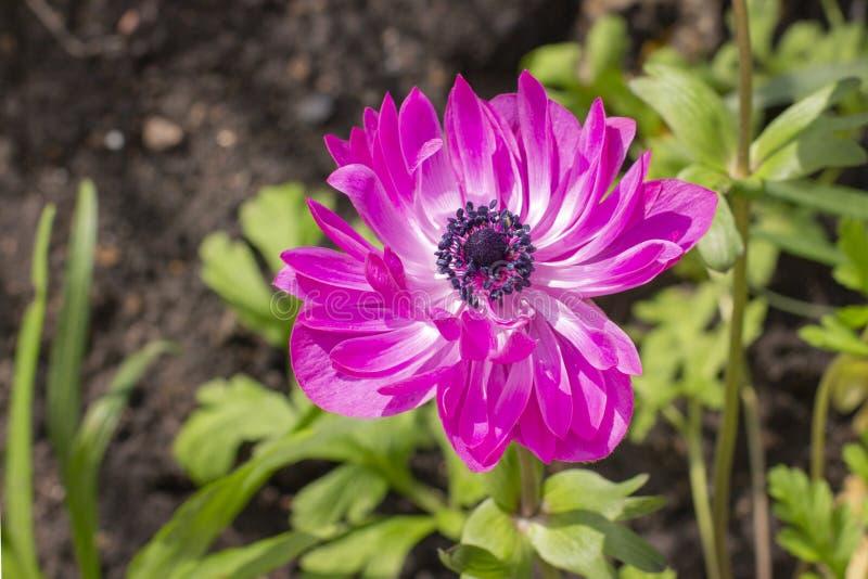 Ροδανιλίνης διπλά ανθίζοντας πέταλα Anemone ST Brigid Όμορφο λουλούδι κήπων στοκ φωτογραφίες με δικαίωμα ελεύθερης χρήσης