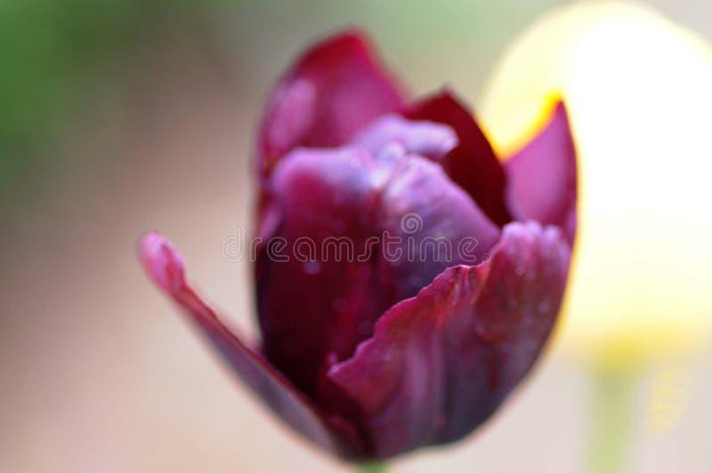 Ροδανιλίνης λουλούδι για να ανθίσει περίπου στοκ εικόνες με δικαίωμα ελεύθερης χρήσης