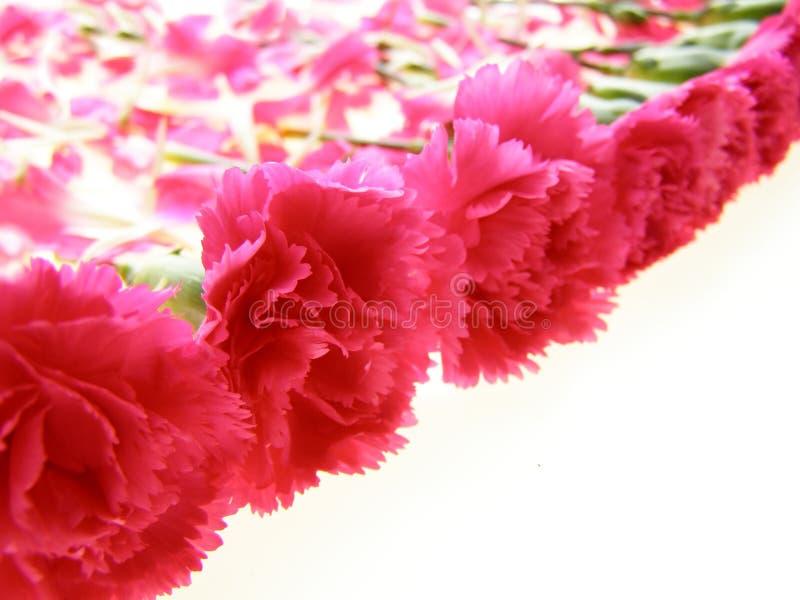 ροζ γαρίφαλων στοκ φωτογραφία με δικαίωμα ελεύθερης χρήσης