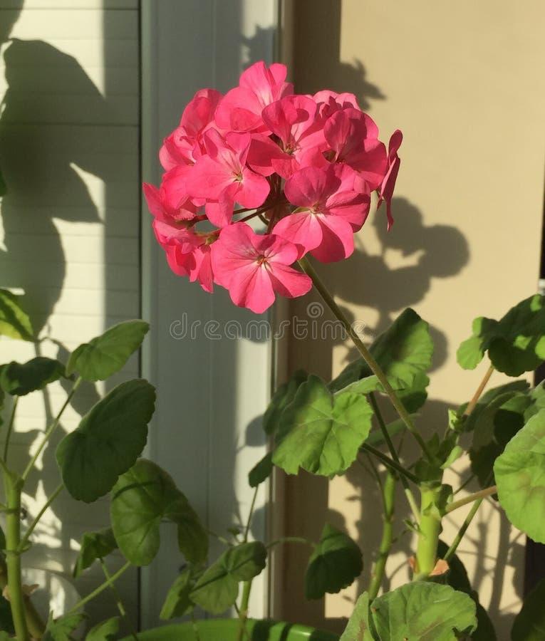 ροζ γερανιών λουλουδι στοκ εικόνες