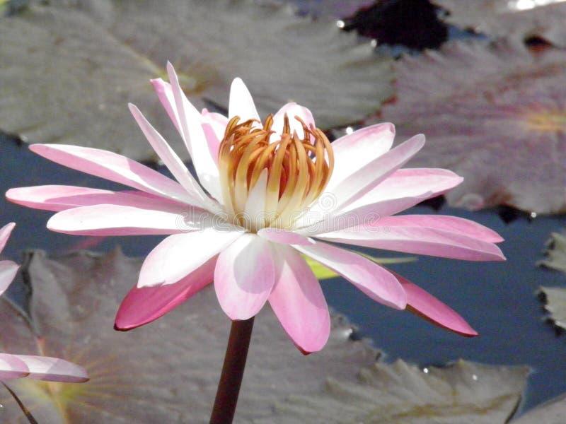 Ροζ και λευκό Lyly νερού στοκ φωτογραφία με δικαίωμα ελεύθερης χρήσης