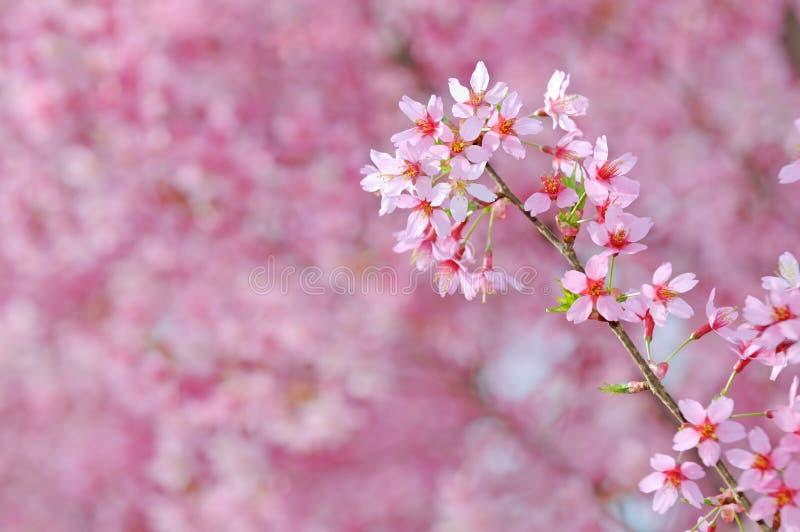 ροζ κερασιών ανθών στοκ εικόνες