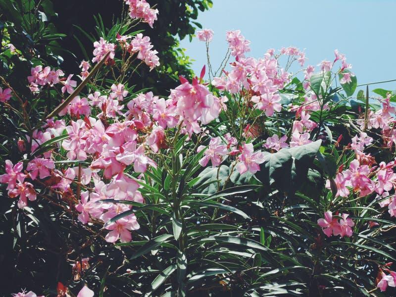 Ροζ κερασιών στοκ φωτογραφίες με δικαίωμα ελεύθερης χρήσης