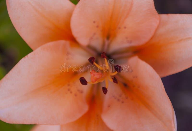 ροζ κρίνων λουλουδιών στοκ φωτογραφία με δικαίωμα ελεύθερης χρήσης