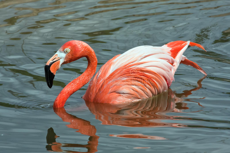 Download ροζ λιμνών φλαμίγκο στοκ εικόνες. εικόνα από κανένας - 17052178
