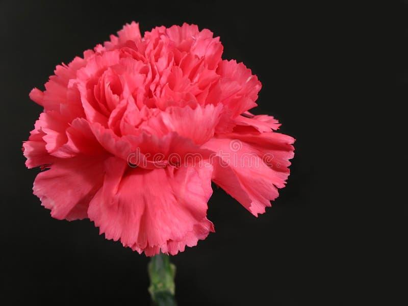 ροζ λουλουδιών γαρίφα&lambd στοκ φωτογραφία με δικαίωμα ελεύθερης χρήσης