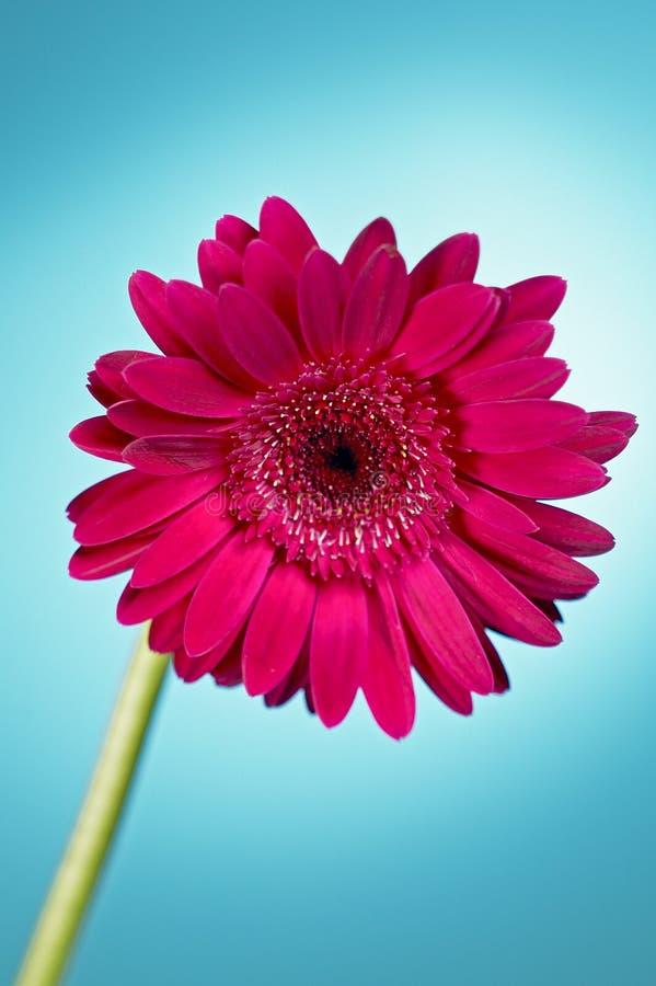 ροζ λουλουδιών στοκ φωτογραφία