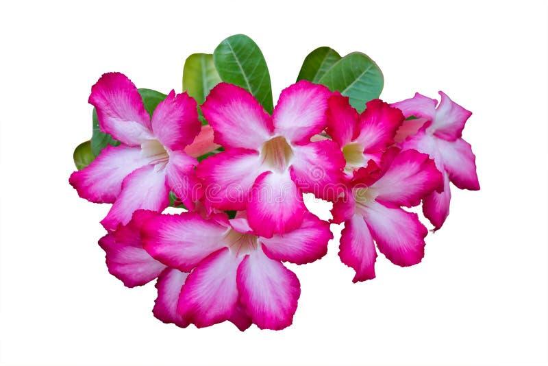 Ροζ λουλουδιών Adenium που απομονώνεται στο άσπρο υπόβαθρο, πορεία ψαλιδίσματος στοκ εικόνα