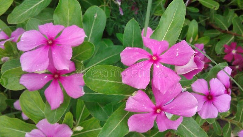 Ροζ λουλούδι για τους εραστές του κόσμου στοκ εικόνες