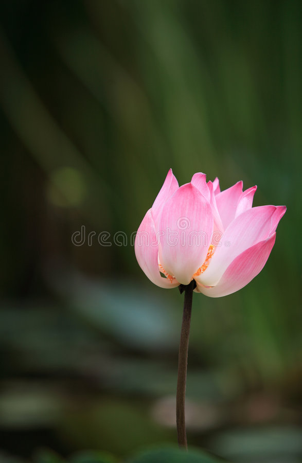 Download ροζ λωτού στοκ εικόνα. εικόνα από φυτά, σύμβολο, ινδονησία - 398081