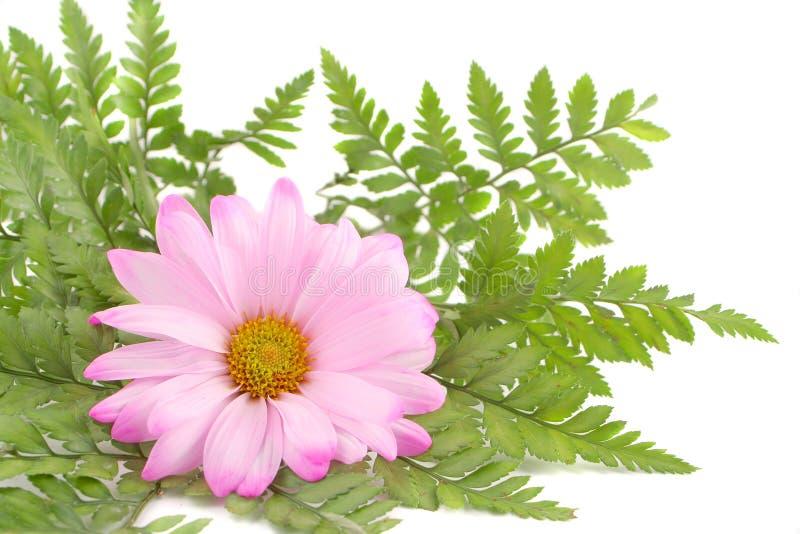 ροζ μαργαριτών στοκ φωτογραφία με δικαίωμα ελεύθερης χρήσης