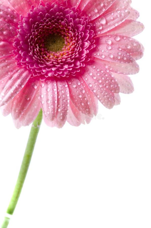 ροζ μαργαριτών στοκ εικόνες με δικαίωμα ελεύθερης χρήσης