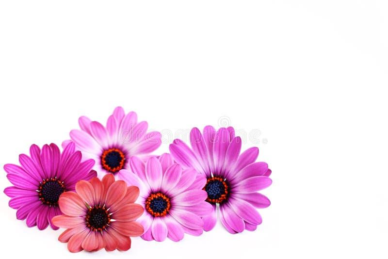 ροζ ομορφιάς στοκ εικόνες