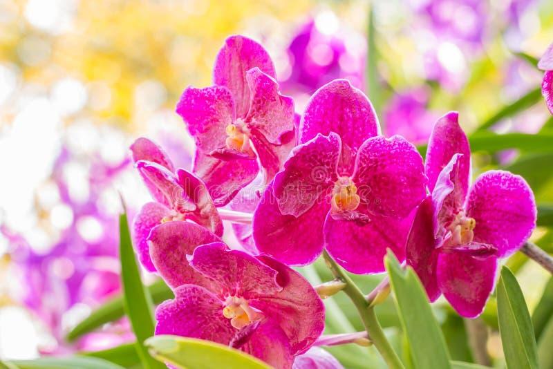 Ροζ ορχιδέα, Βάντα στοκ εικόνες με δικαίωμα ελεύθερης χρήσης