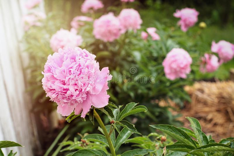 Ροζ παιώνες που μεγαλώνουν στον κήπο στοκ φωτογραφίες με δικαίωμα ελεύθερης χρήσης