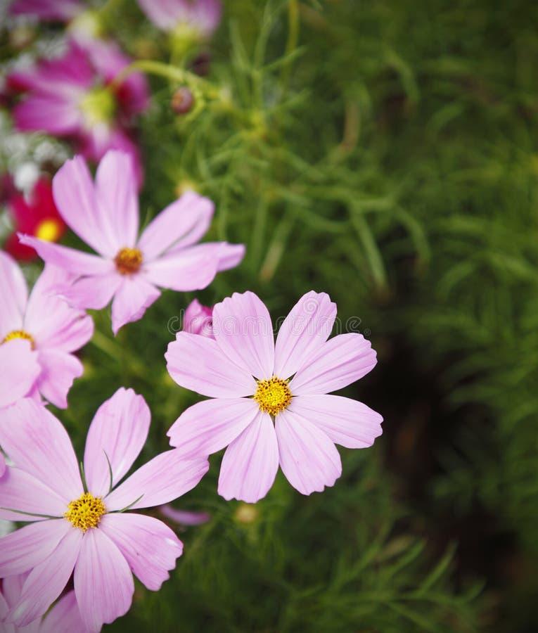 ροζ πεδίων μαργαριτών στοκ φωτογραφία με δικαίωμα ελεύθερης χρήσης
