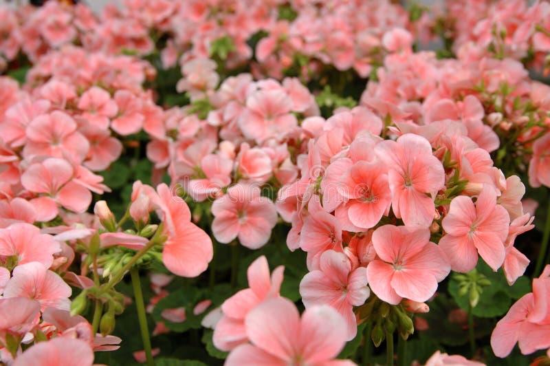 ροζ πελαργονίων στοκ εικόνες