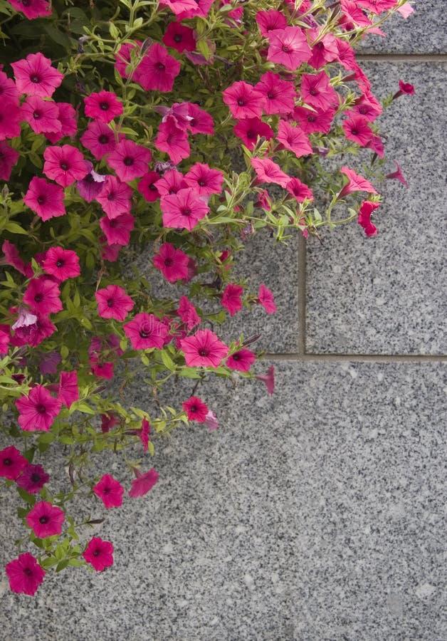 ροζ πετουνιών στοκ εικόνες με δικαίωμα ελεύθερης χρήσης