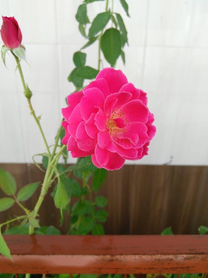Ροζ ροδαλός-02 στοκ εικόνες με δικαίωμα ελεύθερης χρήσης