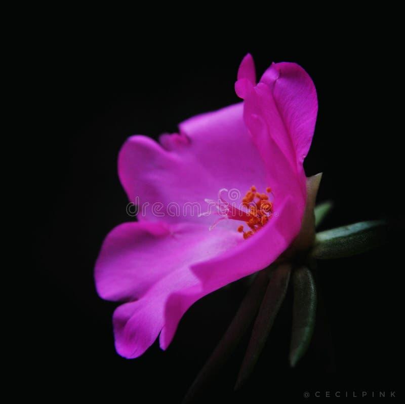 Ροζ στο σκοτάδι στοκ φωτογραφία με δικαίωμα ελεύθερης χρήσης