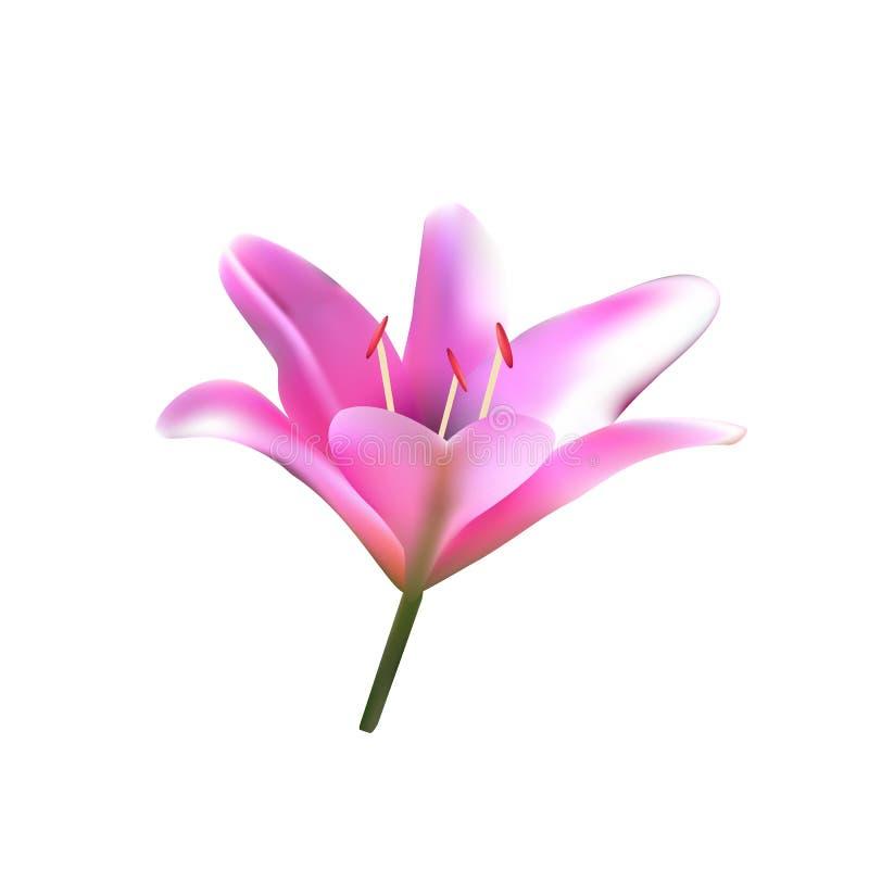 ροζ της Lilia διανυσματική απεικόνιση