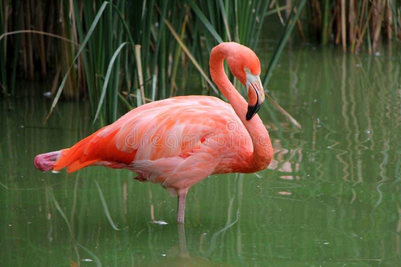 ροζ φλαμίγκο στοκ φωτογραφία