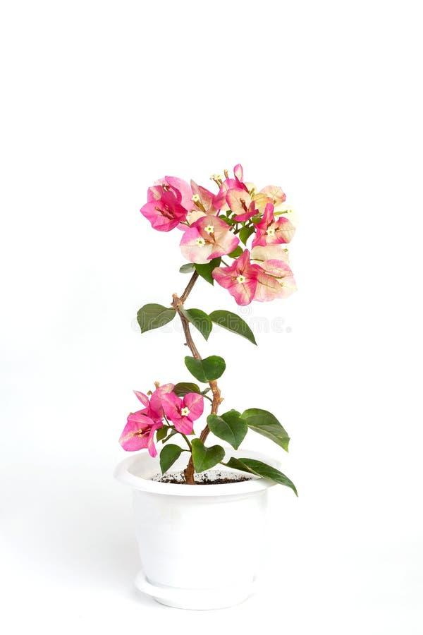 Ροζ χαμαιλεόντων Bougainvillea σε ένα δοχείο λουλουδιών σε ένα άσπρο υπόβαθρο στοκ εικόνες με δικαίωμα ελεύθερης χρήσης
