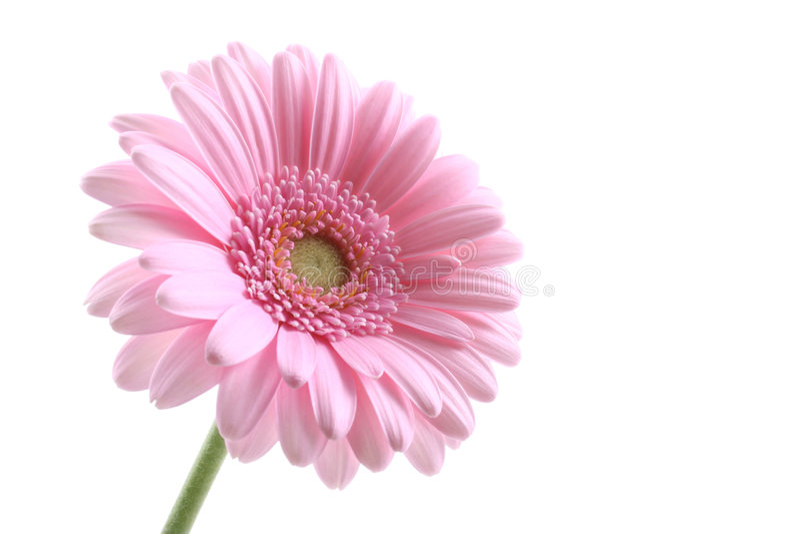 ροζ στοκ φωτογραφία