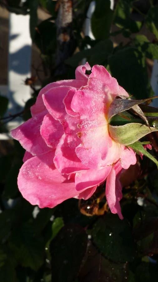 Ροζ στοκ φωτογραφία με δικαίωμα ελεύθερης χρήσης