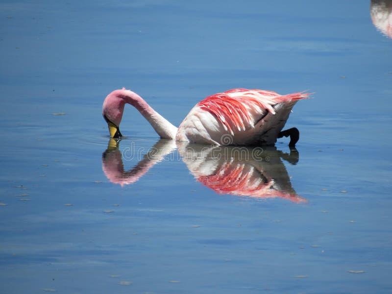 Ροζ flamenco στοκ φωτογραφίες με δικαίωμα ελεύθερης χρήσης