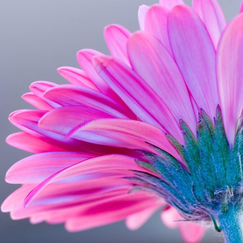 ροζ gerbera λουλουδιών στοκ φωτογραφίες