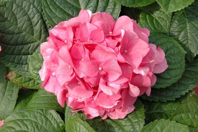 ροζ macrophylla hydrangea στοκ εικόνα με δικαίωμα ελεύθερης χρήσης