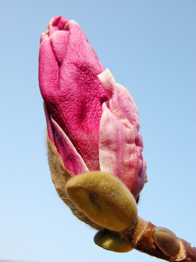 Download ροζ magnolia οφθαλμών στοκ εικόνα. εικόνα από άνοιξη, ροζ - 107105