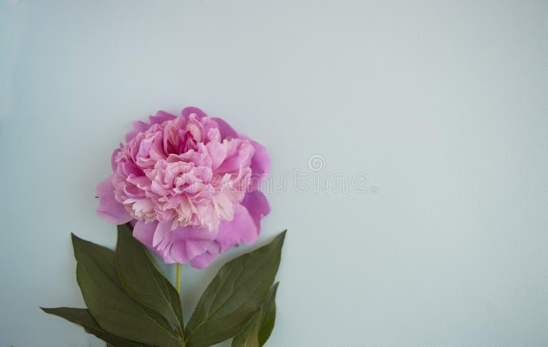 Ροζ peony με τα φύλλα σε ένα τυρκουάζ υπόβαθρο Minimalistic β στοκ φωτογραφίες