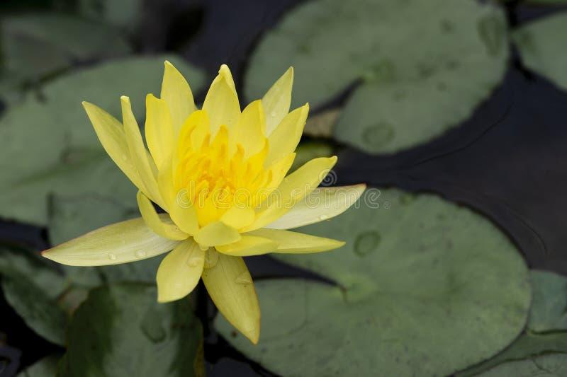 Ρομαντικός φωτεινός κίτρινος κρίνος νερού στο χαμηλωμένο υπόβαθρο στοκ εικόνες