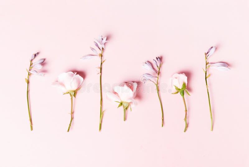 Ρομαντικό πανό, λεπτά λευκά τριαντάφυλλα κοντινά Ροζ πέταλα αχλαδιού στοκ εικόνα με δικαίωμα ελεύθερης χρήσης