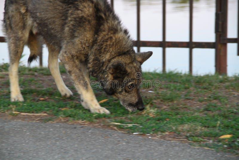 Ρουθούνισμα της μύτης σκυλιών στο έδαφος μεγάλο σκυλί στοκ εικόνες