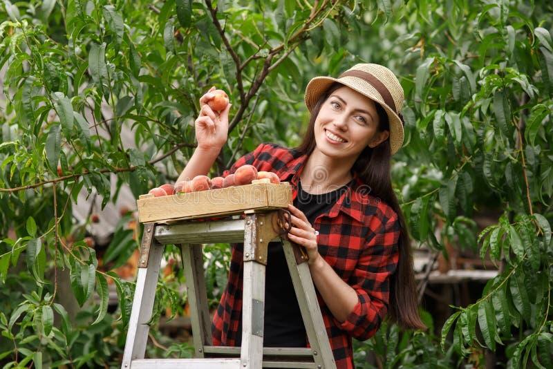Ροδάκινα επιλογής κηπουρών γυναικών στοκ εικόνες με δικαίωμα ελεύθερης χρήσης