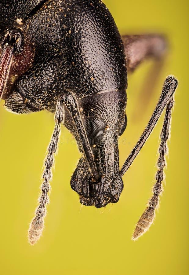 Ρυγχωτός κάνθαρος, Otiorhynchus Νίγηρας στοκ φωτογραφία με δικαίωμα ελεύθερης χρήσης