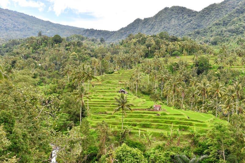 Ρυζιού πράσινα fileds φοινίκων τοπίων πεζουλιών τροπικά στοκ εικόνες με δικαίωμα ελεύθερης χρήσης