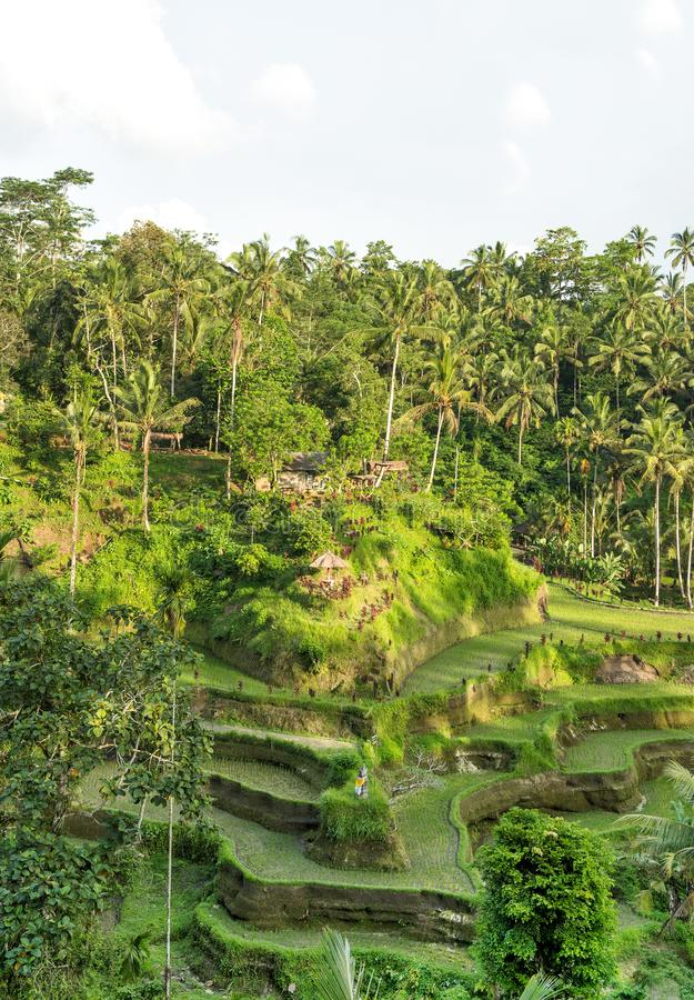 Ρυζιού πράσινα fileds φοινίκων τοπίων πεζουλιών τροπικά στοκ φωτογραφία