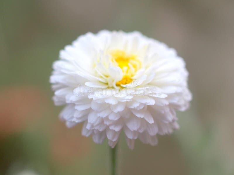 Ρωμαίος chamomile στοκ φωτογραφίες