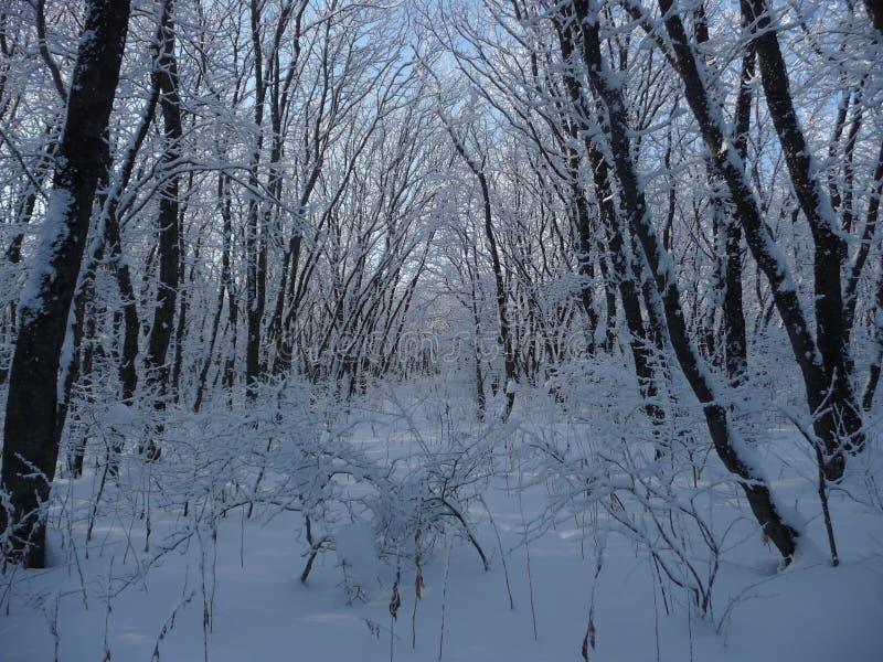 Ρωσία Χιονώδες χειμερινό δάσος στο Stavropol ` Taman δασικό Dacha ` στοκ φωτογραφία με δικαίωμα ελεύθερης χρήσης