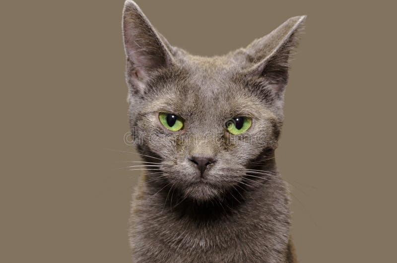 Ρωσική μπλε γάτα με το σαφές γκρίζο υπόβαθρο στοκ φωτογραφίες