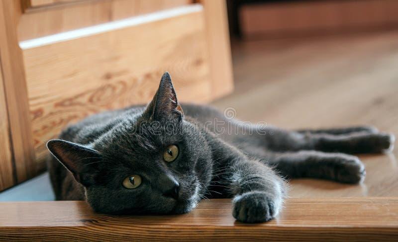 Ρωσική μπλε γάτα που στηρίζεται στο πάτωμα στοκ εικόνα