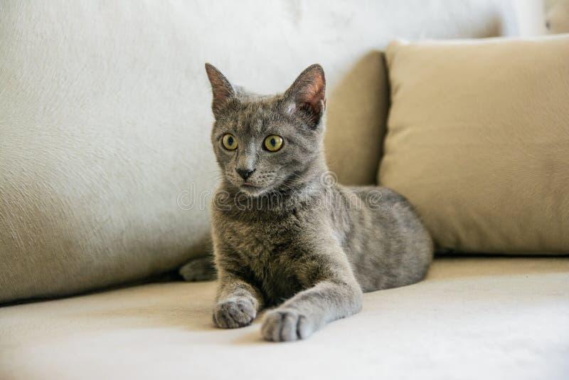 Ρωσική μπλε γάτα, συνεδρίαση γατακιών στον γκρίζο καναπέ στοκ φωτογραφία με δικαίωμα ελεύθερης χρήσης