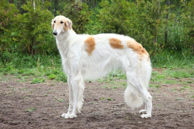 ρωσική στάση σκυλιών borzoi στοκ εικόνα